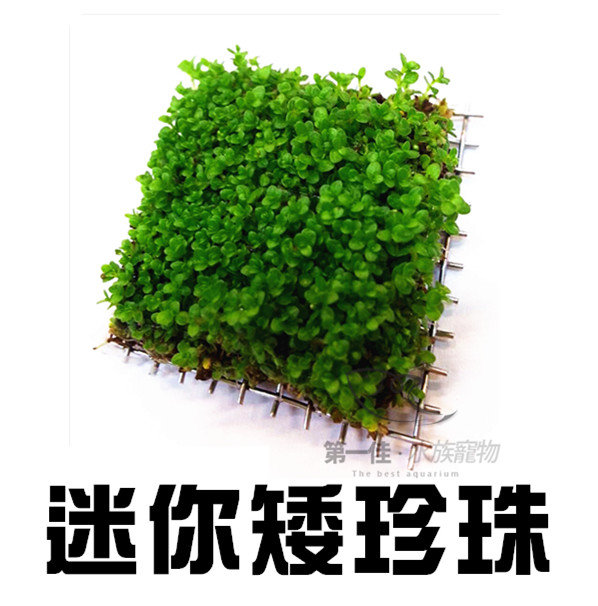 [第一佳 水族寵物]真水草-迷你矮珍珠4x4鐵片(單片)臺灣天然 陽性水草 強光性 好養、迅速成長(5片109元)