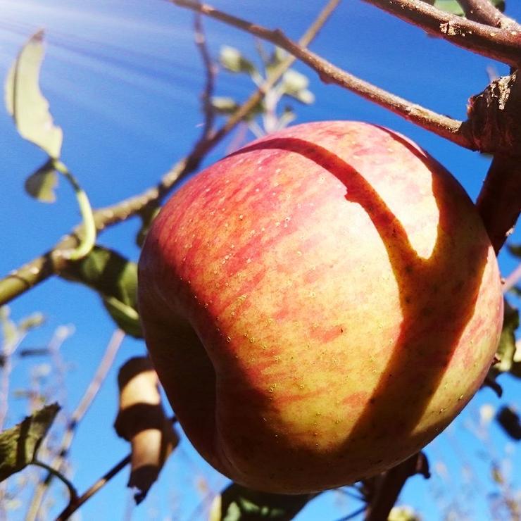 【預購中10月中~1月初】蜜蘋果(惠)1斤裝 / 尚品果園