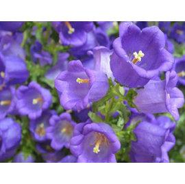 【花種子-風鈴草-5粒-分裝】園藝盆栽花卉,深藍色 新優品種,種子瓶分裝,約5粒/瓶,5瓶/組-5101002