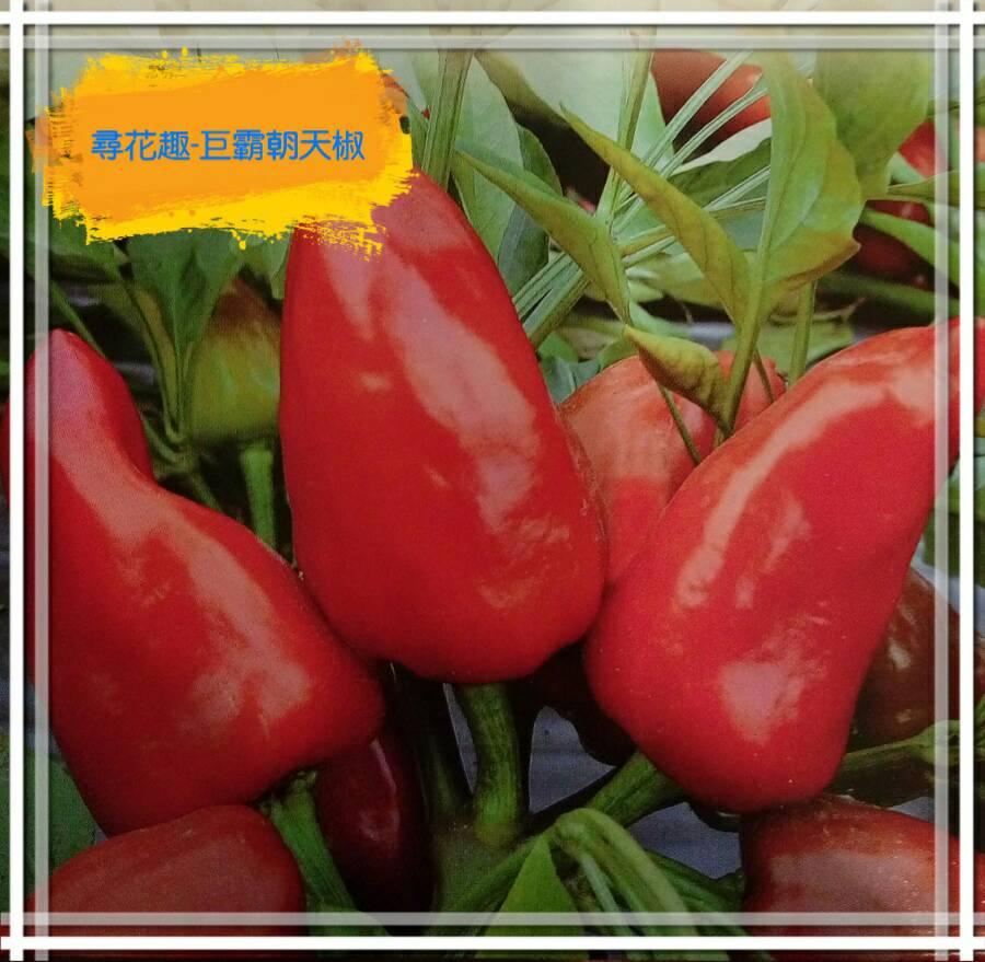 【尋花趣】巨霸朝天椒  辣椒 蔬菜種子  每包約40粒 (分裝包)保證新鮮種子