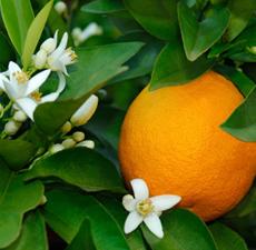 【都易特】甜橙 精油 10/ 50/ 100/ 500/ 1000 ml 分裝 原裝 進口 皂用 手工皂 基礎油 原料 newdirections
