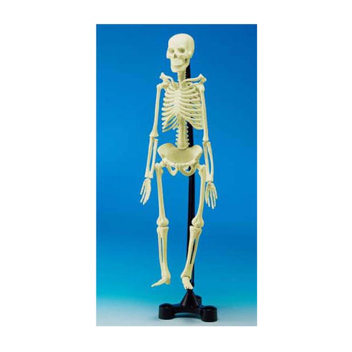 【華森葳兒童教玩具】科學教具系列-人體骨骼模型 N1-EI-2535-V01