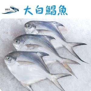 【海鮮主義】大白鯧魚 5/6 ♕白鯧念起來有「昌榮」之意,煎了之後呈金黃色十分討喜,擺放在餐桌上很有好兆頭,肉質又鮮美,成為過年必買的魚種