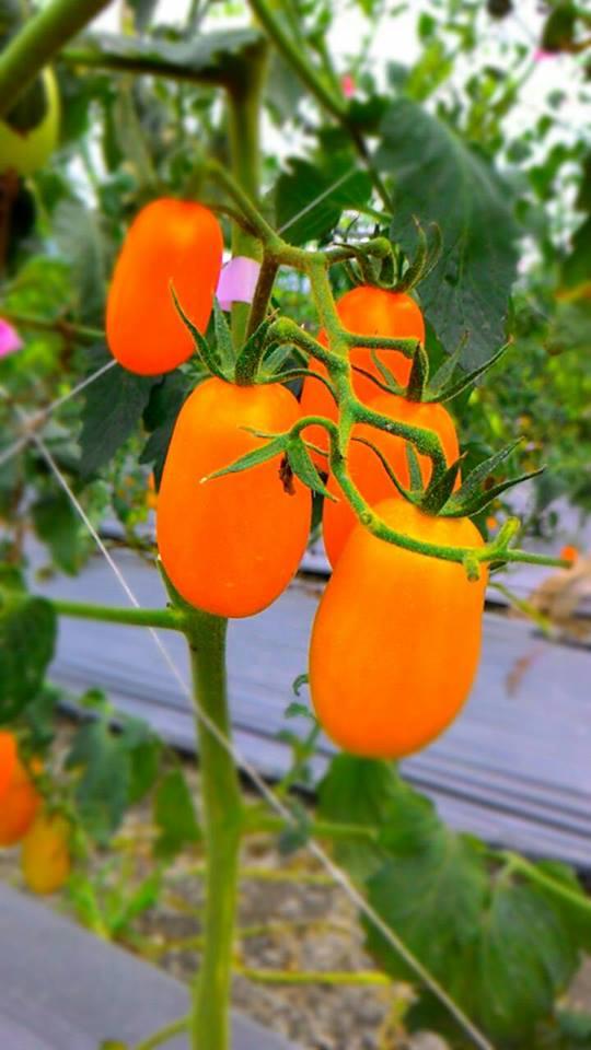 有機栽作無毒橙蜜香小番茄~3斤裝$239