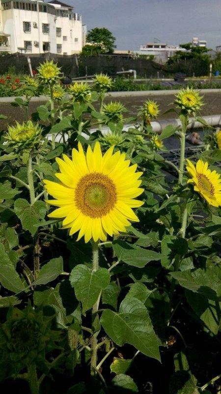 【尋花趣】日本進口 專業用(向日葵矮種)種子 F1 品種 每包 1000粒