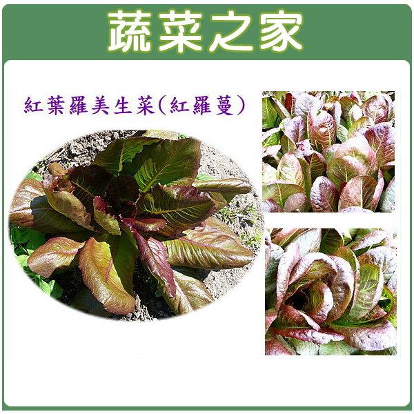 【蔬菜之家】A56.紅葉羅美生菜1000顆(羅蔓)