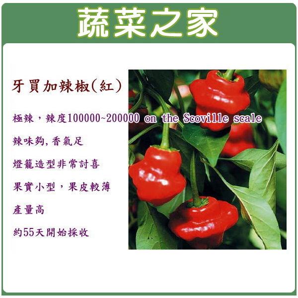 【蔬菜之家】G46.牙買加辣椒種子5顆(紅,極辣)
