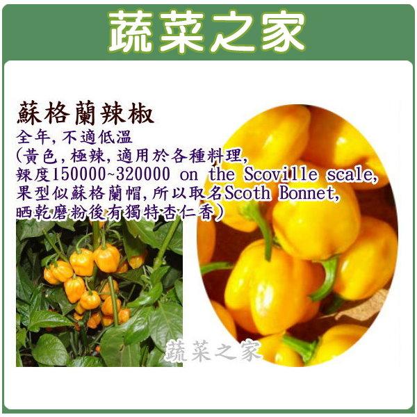 【蔬菜之家】G65蘇格蘭辣椒(黃)種子5顆