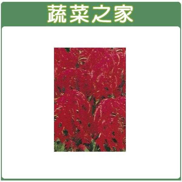 【蔬菜之家】H13.雁來紅(三色,高50cm)種子35顆