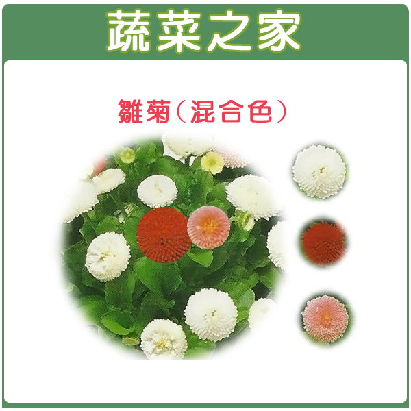 【蔬菜之家】H15.雛菊(混合色,高15~20cm)種子 80顆