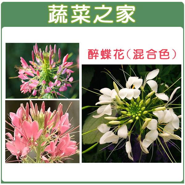 【蔬菜之家】H16.醉蝶花(混合色,高100cm以上)種子30顆