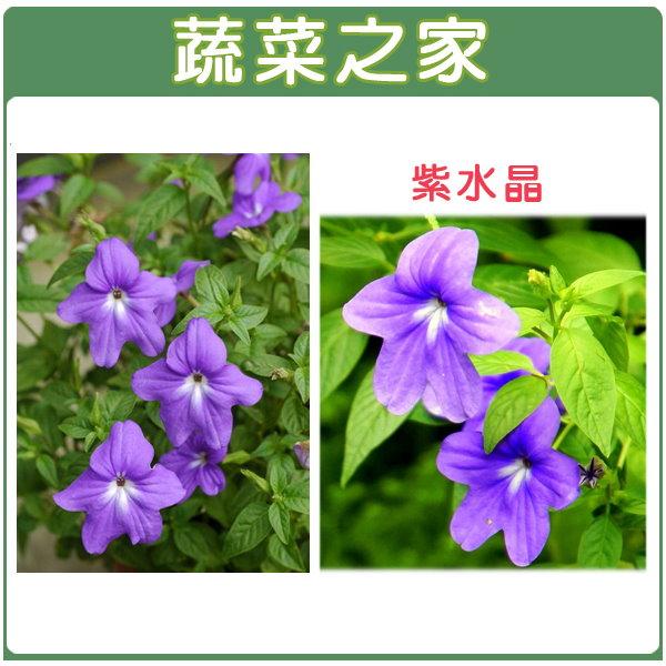 【蔬菜之家】H18.紫水晶(藍色,高25~40cm)種子 20顆