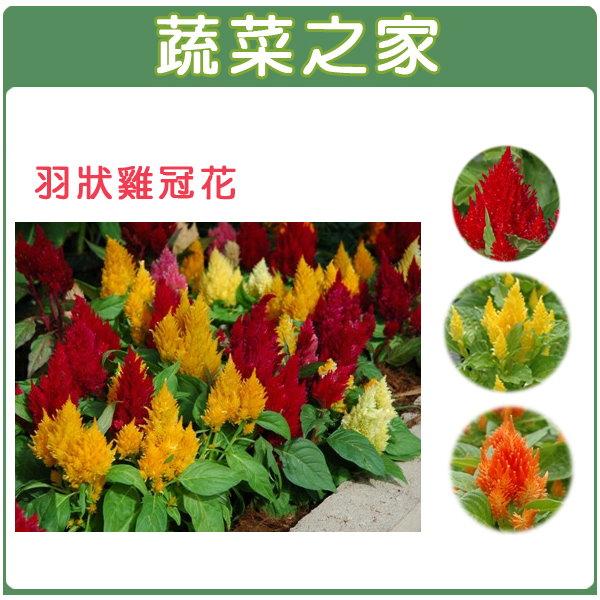 【蔬菜之家】H23.羽狀雞冠花(混合色,高40~60cm)種子35顆