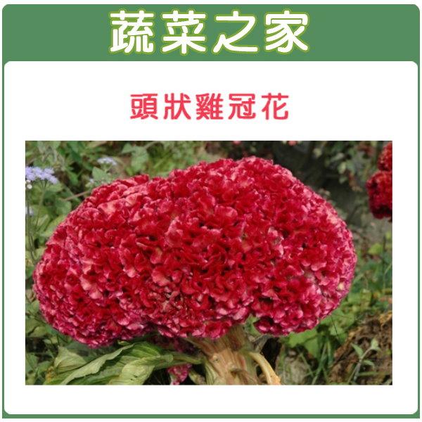 【蔬菜之家】H24.頭狀雞冠花(紅色,高40~60cm)種子 35顆