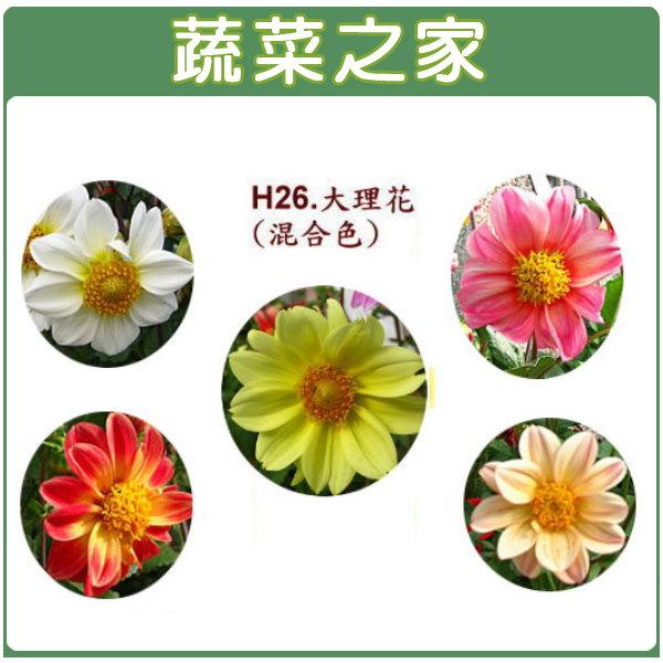 【蔬菜之家】H26.大理花(混合色,高30~40cm)種子10顆