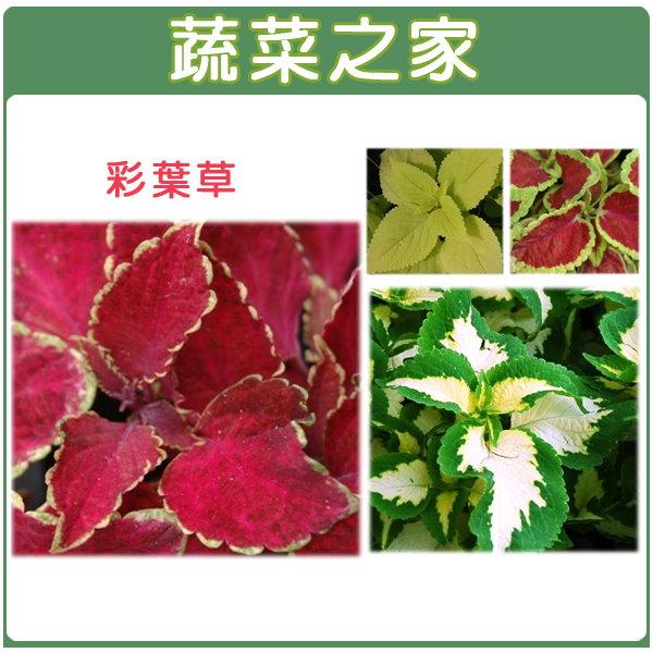 【蔬菜之家】H27.彩葉草(混合色,高40~50cm)種子50顆