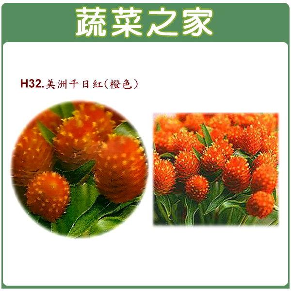 【蔬菜之家】H32.美洲千日紅(橙色,高50~70cm)種子20顆