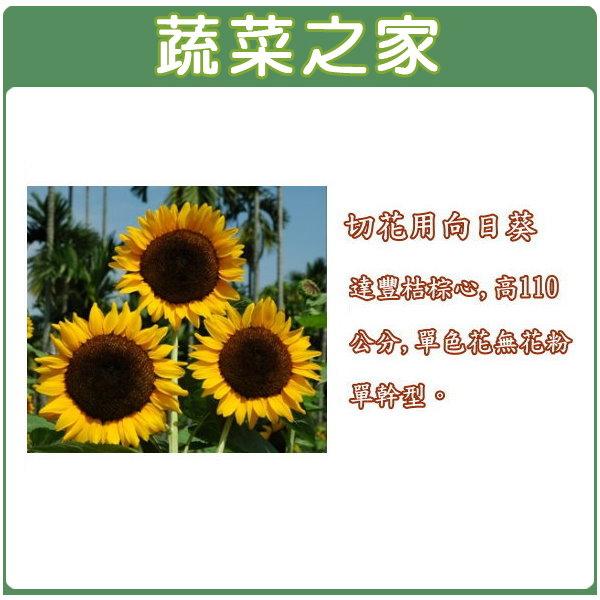 【蔬菜之家】H40.切花用向日葵種子5顆(桔棕心,高110公分)