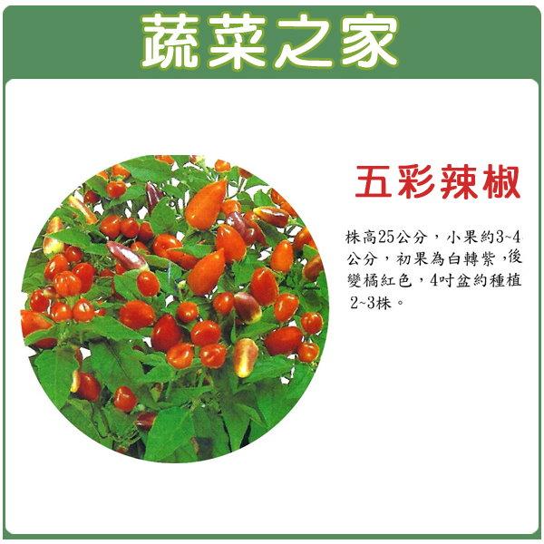 【蔬菜之家】P01.五彩辣椒種子20顆(神燈,切花.花壇.盆栽)