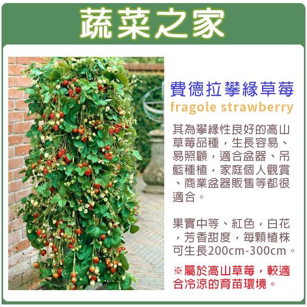 【蔬菜之家】I11.費德拉攀緣草莓種子3顆(草莓種子非常細小)