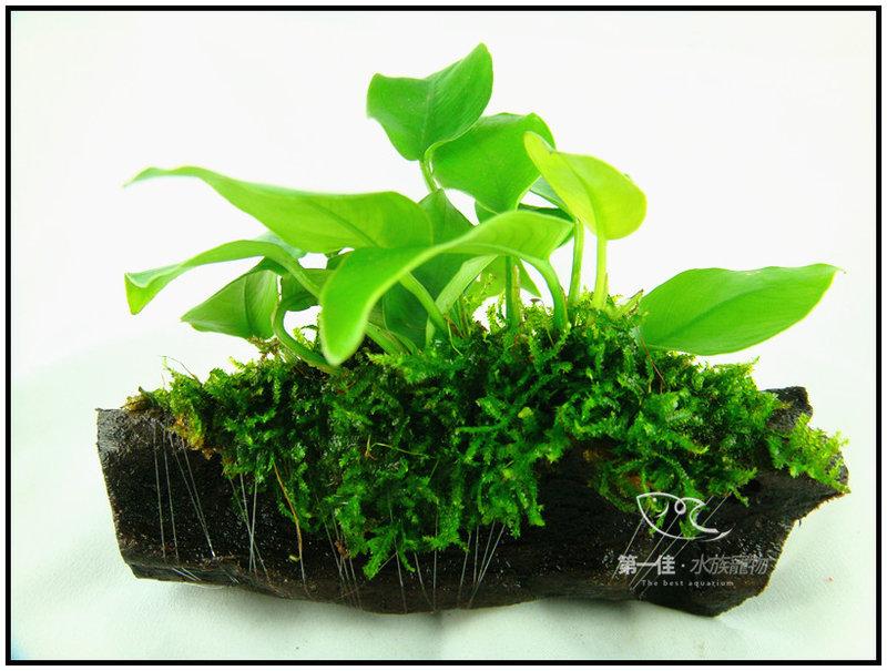 [第一佳 水族寵物]真水草 -陰性水草 (隨便種都長的活的草種C02不用也可) [莫絲/默思黃金小榕沉木]