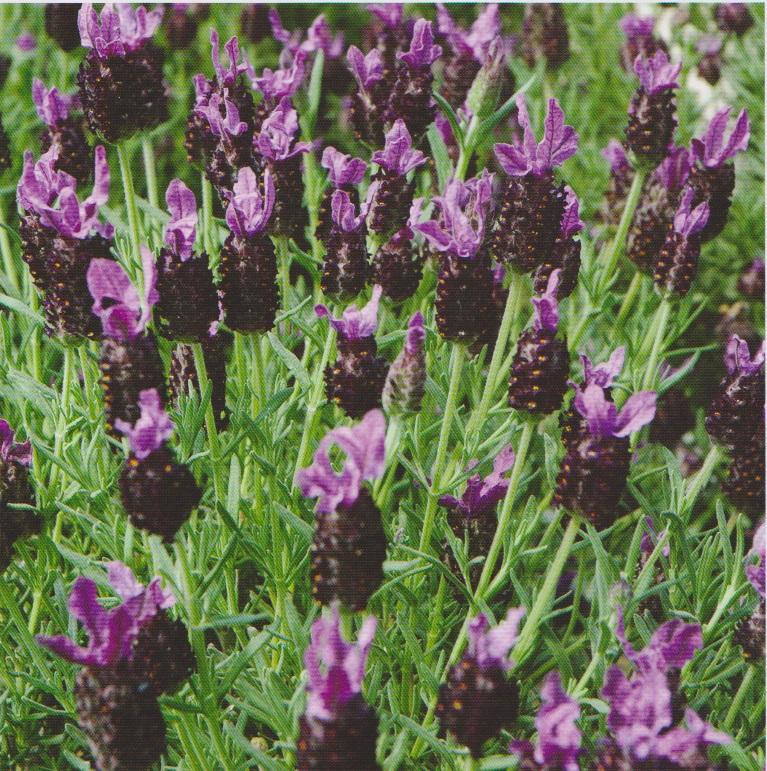 【尋花趣】西班牙薰衣草(法國薰衣草,頭狀薰衣草) 花卉種子 約50粒/包 花語:等待愛情