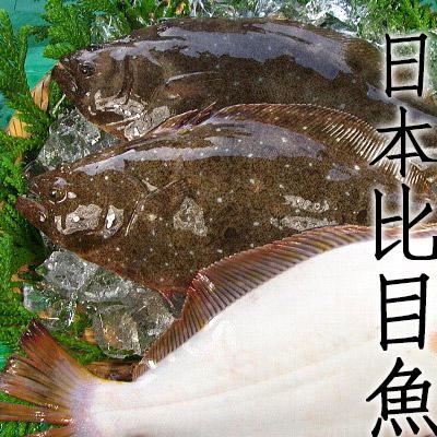 ㊣盅龐水產◇現流冰鮮鹿兒島比目魚◇ 1.2~1.5kg/隻 比目魚 鰈魚 (辦桌.批發.團購 .長期配合)