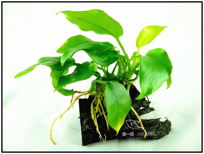 [第一佳 水族寵物]真水草 -陰性水草 (隨便種都長的活的草種C02不用也可) [黃金小榕沉木]