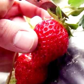 採不完草莓園 草莓 無毒害種植 (1台斤/盒)