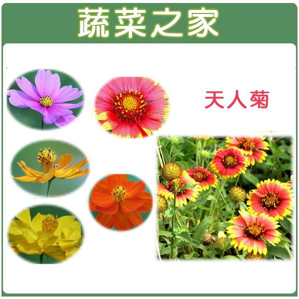 【蔬菜之家】H03.天人菊種子 200顆