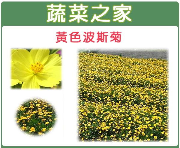 【蔬菜之家】H07.黃色波斯菊種子 300顆