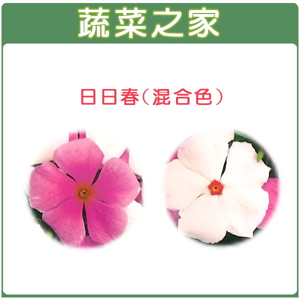 【蔬菜之家】H39.日日春(混合色,高45~60cm)種子 20顆