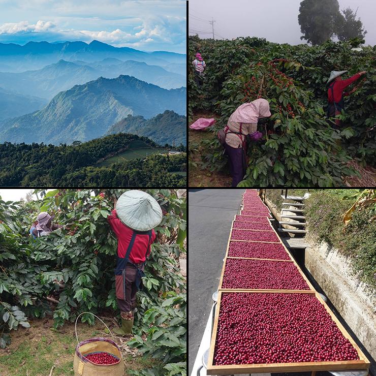 台灣阿里山咖啡豆